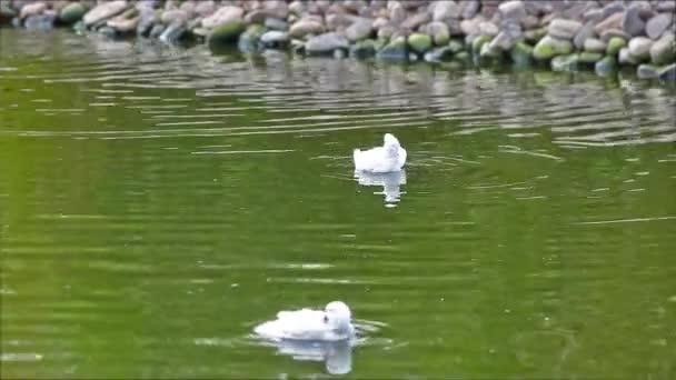 White ducks on the lake.