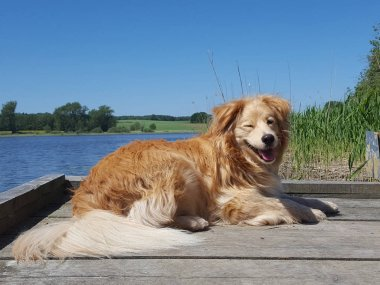 dog - golden retriever mix lies on bridge at a lake and winks with eye at a sunny day