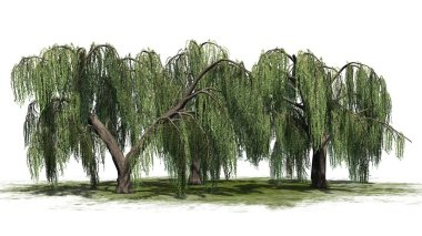 Several weeping willow trees - isolated on white background