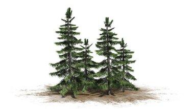 Alaska Cedar tree cluster on a sand area - isolated on white background