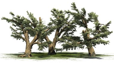 Cedar Of Lebanon tree cluster on a green area - isolated on white background