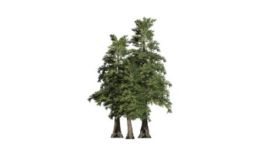 Western Red Cedar tree cluster - isolated on white background