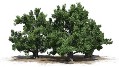 European Beech tree cluster on a sand area - isolated on white background