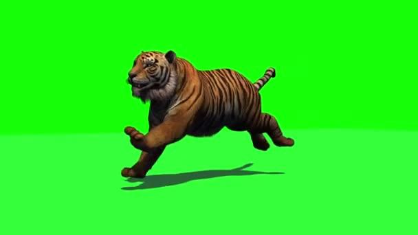 Tiger fut-3 különböző nézeteket árnyék-zöld képernyő