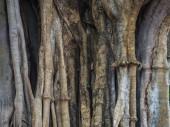 il corpo di grande albero mostra molte delle complicate radice stretto e circonda lalbero