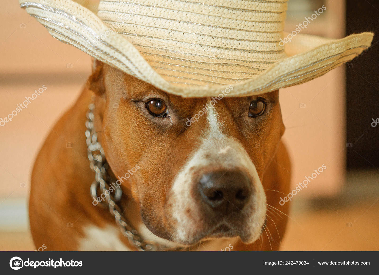 american stuff dog