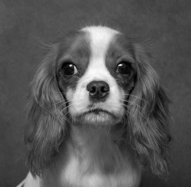 dog, friend of human, pet, Chevalier King Charles Spaniel, small, beautiful, fold, nice