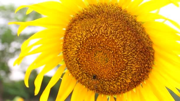 včela na slunečnicový closeup