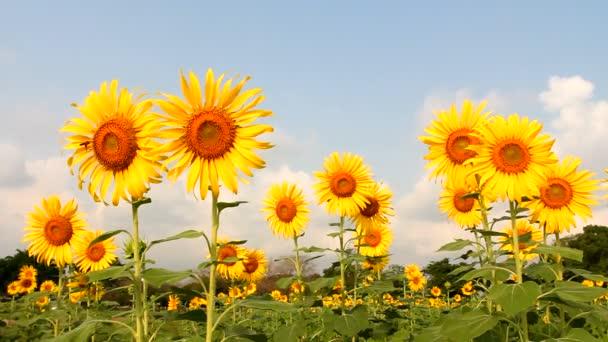 slunečnicová pole s modrou oblohou