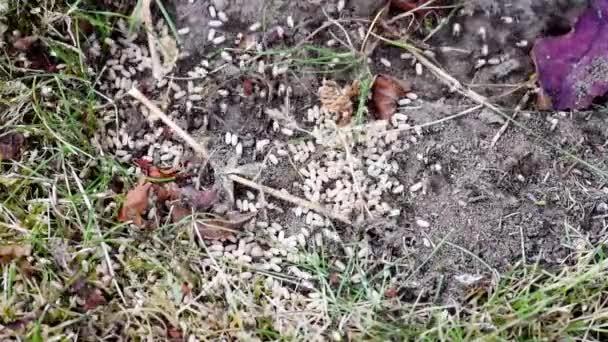 Mraveniště, pozemní mravenci zuřivě nést vejce v doupatech kopal up
