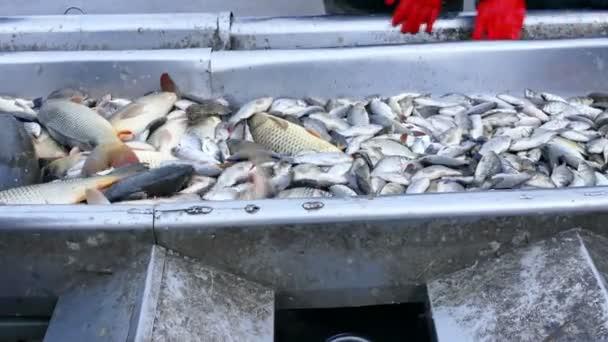 Kapr - klasifikace sladkovodních ryb, 4 k Video klip