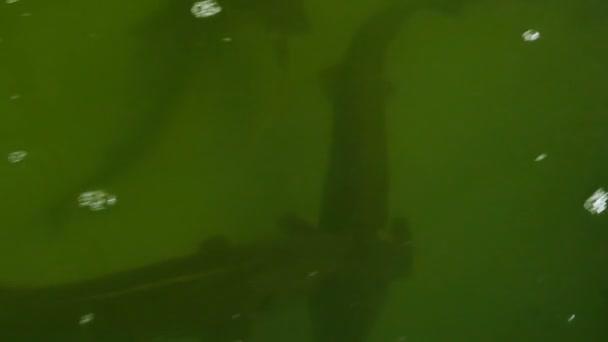Sterlet-hal egy speciális tenyésztési medence, 4k videoklip