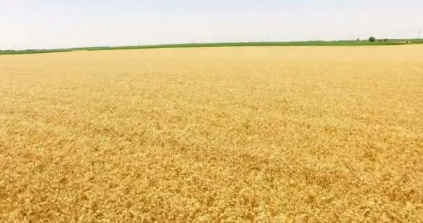 AERIAL VIEW of beautiful wheat fields,  4k Drone Shot Video Clip