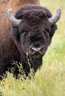Wood bison in the wild