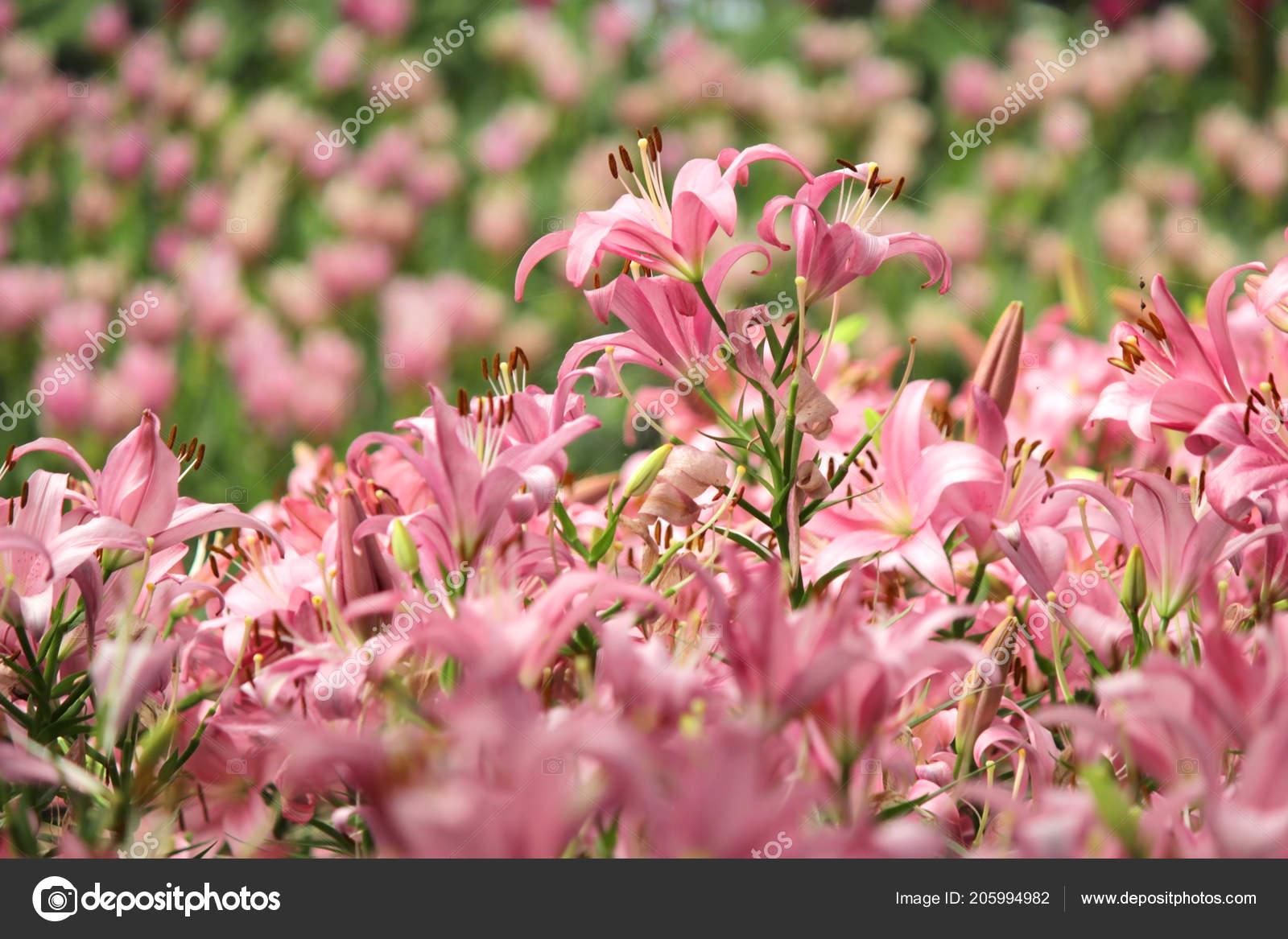 Haufen Von Schönen Rosa Lilien Blume Gartenlilien Stockfoto