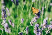 Krásný motýl na levandulové rostliny v létě