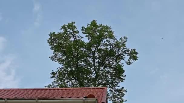 Eine hohe Linde schwingt im Wind über dem Dach des Hauses vor dem Hintergrund des Himmels und fliegender Vögel.