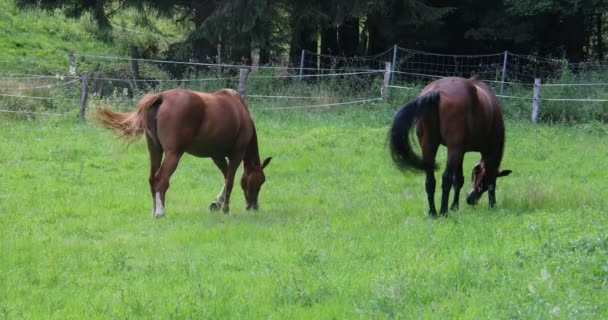brown horses are in the pasture and eat fresh green grass