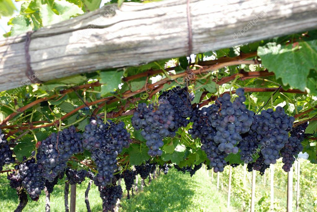 Grapes in a growing area on the South Tyrolean Wine Route near Bolzano - Italy.