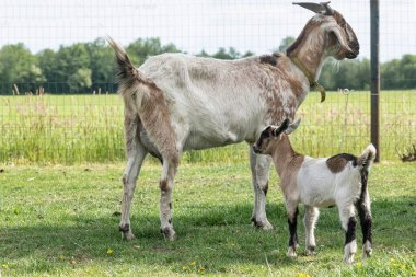 One, white, brown horned, baby goat kids, standing next to the mother, selective focus.