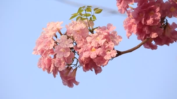 růžové květy tabebuia rosea květ
