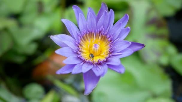 Purple lotus je jedním z typu krásná květina