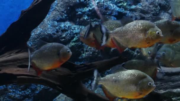 Krásné ryby v akváriu na zdobení vodních rostlin pozadí. Barevné ryby v akváriu. Piraňa červená ryba.