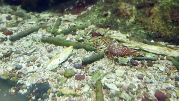 Scharnier-Schnabel Garnelen ist es schöne kleine Garnelen im Aquarium