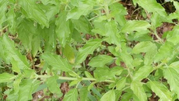 bazsalikom, gyógynövény kert