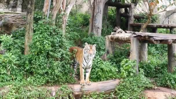 Tigris kölyök séta mentén belül nemzeti park, a fénnyel és a természet háttér.