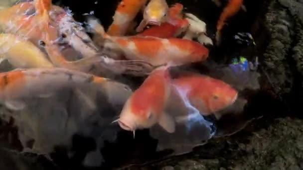 Ozdobný kapr ryb či Koi ryby plavou v rybníku, barevné Dekorativní ryby plovoucí v umělého jezírka.