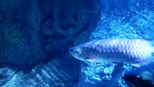 Krásné ryby v akváriu na zdobení vodních rostlin pozadí. Barevné ryby v akváriu
