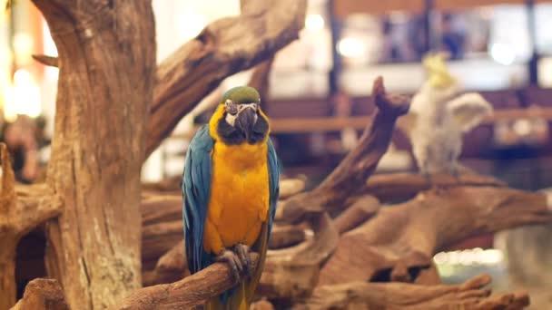 Macore madár tart, a fa ága. Gyönyörű macore papagáj madár állt egy fa.