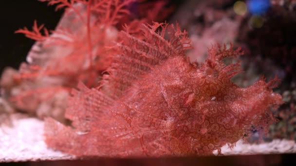 Zaplevelený amboinensis v akváriu, The zaplevelený amboinensis Rhinopias frondosa je mimořádně neobvyklé vypadající ryba