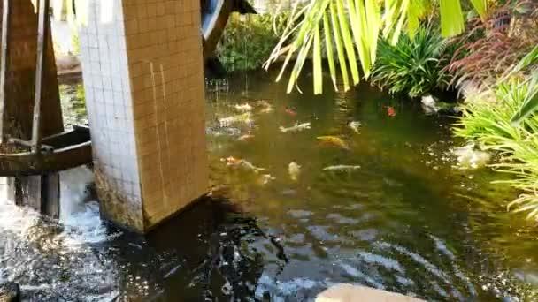Koi ryb v rybníku