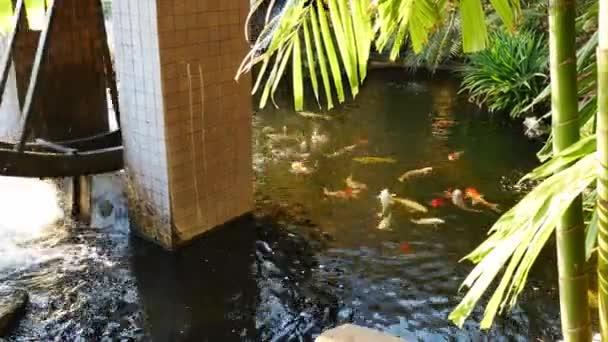 Koi ryb v rybníku.