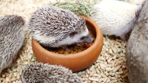 Hedgehog Erinaceus Europaeus eating food.
