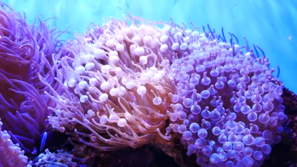 Beautiful sea flower in underwater world with corals and fish. Sea flowers moving in fish tank.
