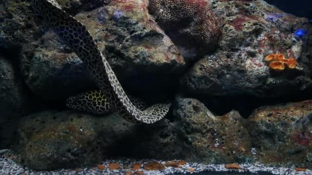 Sea Eels Fish Tank Aquarium Decoration Moray Eel Fish Tank Stock Video C Ducksmall 242563056