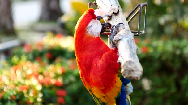 schöner Ara Papageienvogel steht auf einem hölzernen