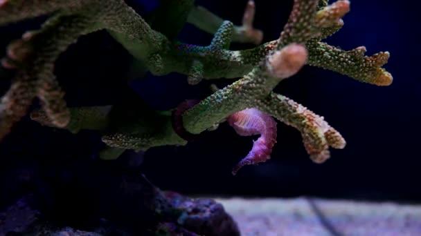 Mořský koník v akváriu. Tyto mořských koníků žít v teplých mořích kolem Indonésie, Filipín a Malajsie. Jsou obvykle žluté a mají neobvyklé černé a bílé pruhované nos.