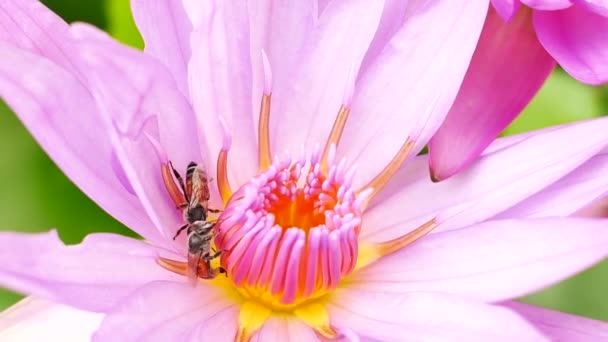 A purple lotus flower and bee. A purple lotus is one of the beautiful flower type.
