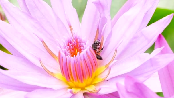 A Purple Lotus Flower And Bee A Purple Lotus Is One Of The