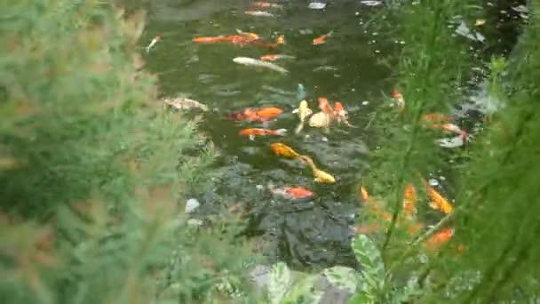 koi ryby plavání v rybníku.