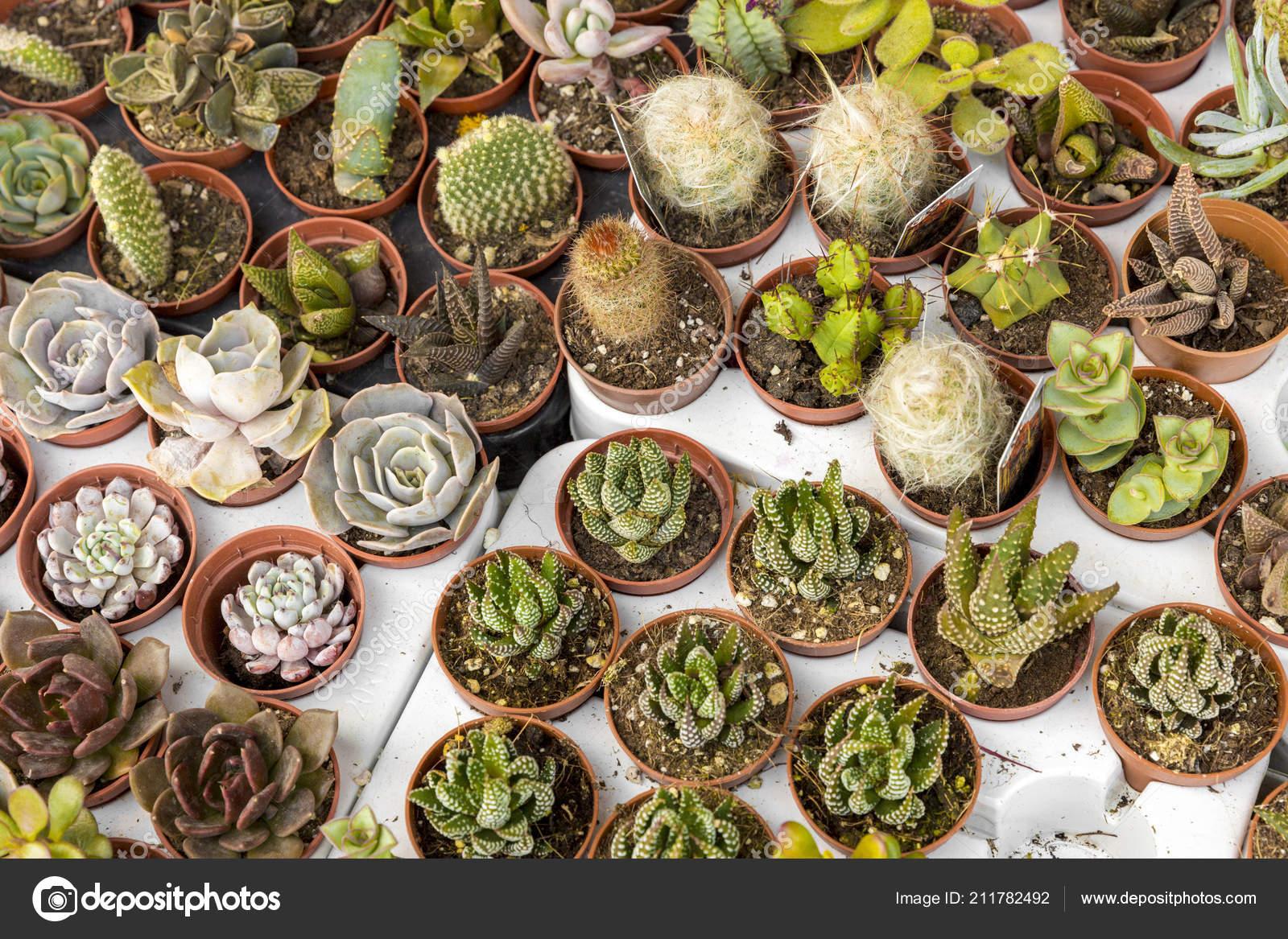 Cacti Different Types Succulents Flower Pots Stock Photo Image By C Nadirkeklik 211782492