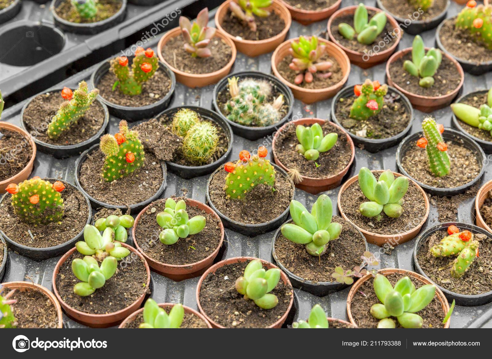 Depositphotos & Cacti Different Types Succulents Flower Pots \u2014 Stock Photo ...
