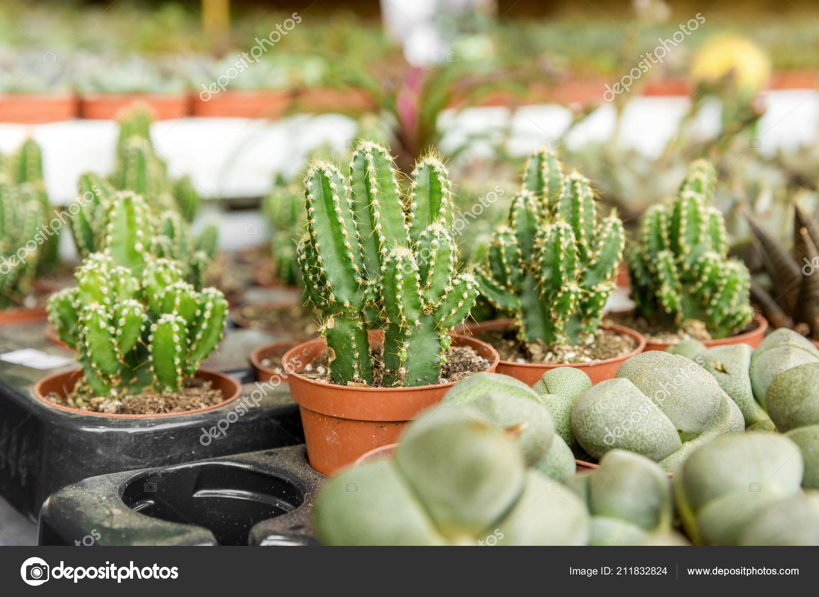 Cacti and different types of succulents in flower pots\u2013 stock image & Cacti Different Types Succulents Flower Pots \u2014 Stock Photo ...