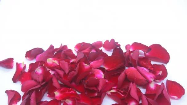 Time-Lapse červených okvětních lístků růže na bílém pozadí.