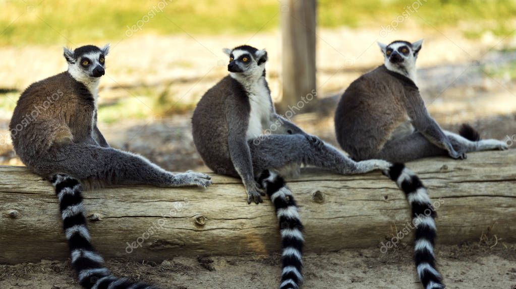 Three ring tailed lemur sitting on a tree on the ground and looking at camera.