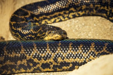 Python Snake close up shot in a zoo.